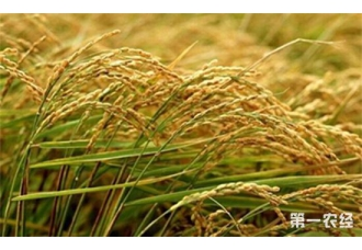 研究表明水稻是集镉元素量最多的食物 影响人体健康