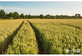 <b>旱地小麦新品种:高抗病不用打农药,增产增效显着</b>