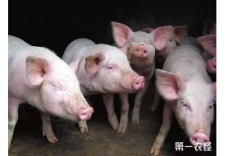 <b>猪价飘红,养猪户却说不赚钱?那谁赚钱?</b>