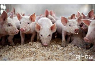 保育猪发白猪的原因以及解决办法