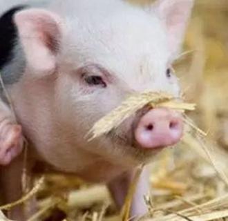 仔猪断脐的细节以及常见误区