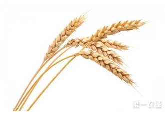 <b>杂交小麦育种的世界性难题有了新突破</b>