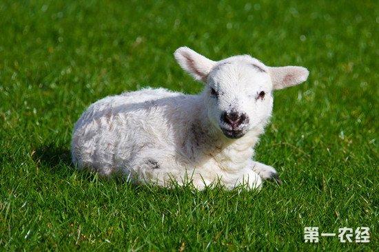 羔羊肚脐发炎怎么办?羔羊脐炎的症状和防治方法