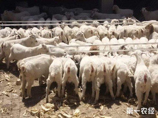 怎么提高肉羊育肥效率?育肥羊管理改进措施