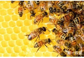 蜜蜂没有蜂王怎么办?蜜蜂没有蜂王的解决办法