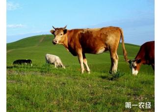 夏季肉牛腹泻的原因以及治疗措施