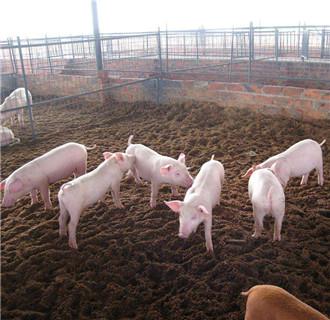 如何用发酵床养猪?发酵床养猪的操作方法
