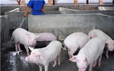 <b>春季养猪防疫注意事项:猪春季常见疾病防范</b>