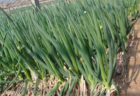 贵州毕节黔西锦星镇大力发展大葱种植业