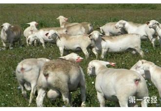 怀孕母羊要怎么驱虫?怀孕母羊的驱虫技术