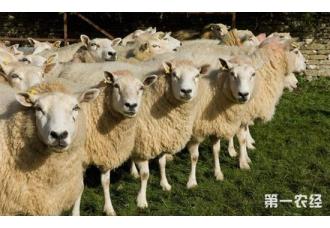 羊蓝舌病的发病原因以及防治措施