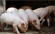 养猪政府有补贴吗?养猪补贴标准是多少