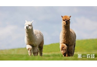 羊驼要怎么养?羊驼的养殖技术