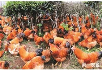 鸡螨虫要怎么治?鸡螨虫的防治措施