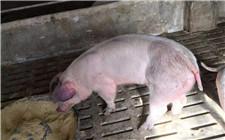 猪呼吸道疾病具体有哪些?如何进行预防