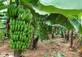 香蕉种植后要怎么管理?香蕉的管理技术介绍