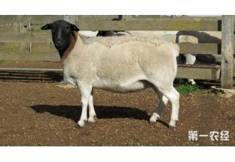 杜泊羊怎么养?杜泊羊的日常饲养要点
