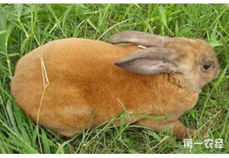 母兔为什么不孕?母兔不孕的原因