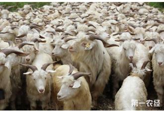 羊用药时要注意什么?羊用药的注意事项