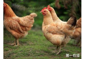 蛋鸡行业迅速发展带来了哪些新变化?