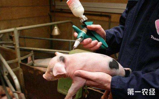 养猪防疫:给猪打疫苗要注意避免这些情况