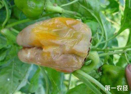 青椒出现烂果的情况怎么办?大棚种青椒如何防烂果