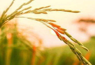 """天津推广""""水稻、小麦连作""""模式 促进农业增收"""