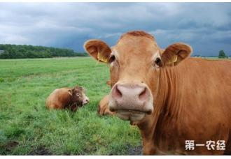 牛流行热的症状以及防治措施