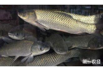 草鱼厌食的症状、原因以及防治措施