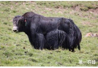 <b>阿什旦牦牛新品种:无角,便于集约化养殖</b>
