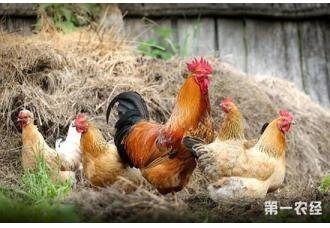 鸡中暑要怎么防治?鸡中暑的防治技术