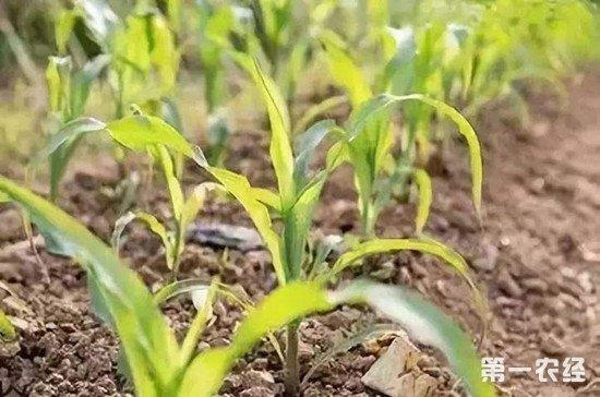 种植玉米时常见的缺素症和解决方法