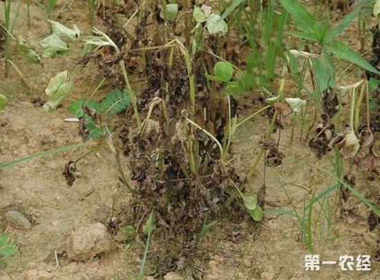 花生叶子变黑腐烂怎么办?花生冠腐病的防治方法