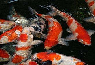 金鱼养殖要注意什么?注意以下四点