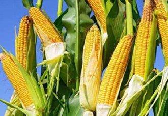 我国玉米价格暂无变化 局部地区价格稍微波动