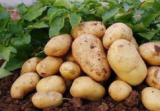 马铃薯叶枯病要怎么防治?马铃薯叶枯病的症状与防治方法