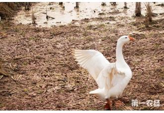 夏季鸭子常见的传染病以及治疗措施