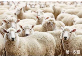 肉羊要怎么快速育肥?肉羊快速育肥的技术