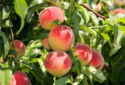 山东桃子进入采摘高峰期 桃农面临桃子滞销问题