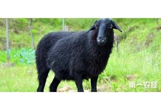 乌骨羊怎么养?乌骨羊的养殖技术