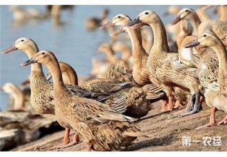 蛋鸭软脚病的病因以及防治措施