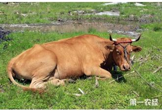 怎么避免母牛流产?预防母牛流产的管理技术