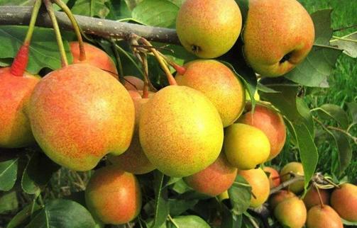 成熟的果实挂满枝头,苹果梨带来致富希望
