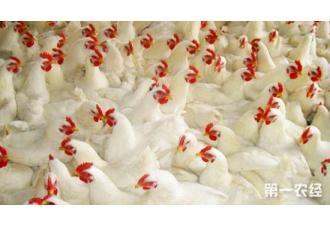 鸡叶酸缺乏症的症状以及防治措施