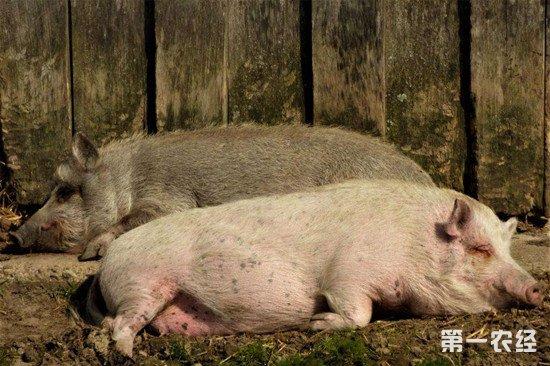 母猪睡觉时磨牙吐白沫怎么办?母猪磨牙的解决方法
