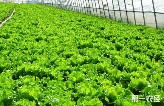 大棚蔬菜如何提高产种植效率?大棚蔬菜的管理技巧