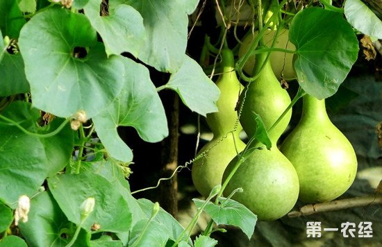 葫芦怎么种才能高产?葫芦的种植管理方法