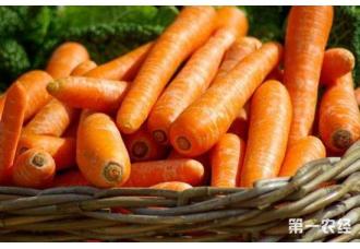 胡萝卜机械播种:节省种子,方便管理