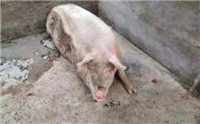 哺乳期母猪拉稀如何进行治疗和防范