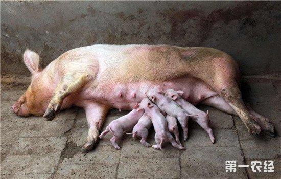 如何判断母猪的分娩时间?这些特征要记牢